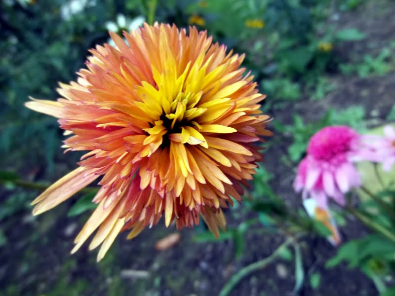 Echinacea marmalade double pink really pretty flowers mightylinksfo