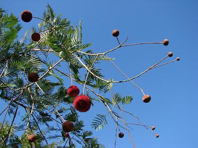 american trees Tamarindo grande Parkia pendula