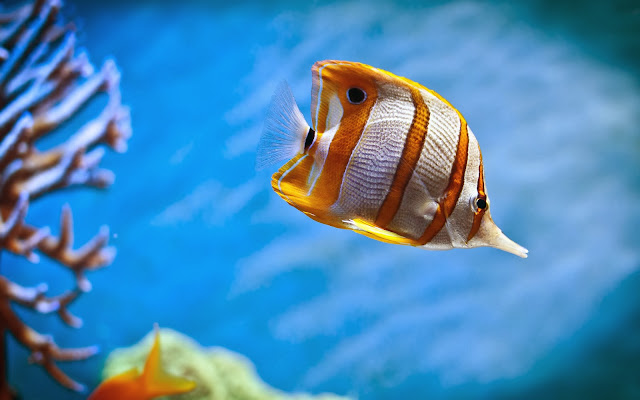 Copperband Butterfly Fish Wallpaper