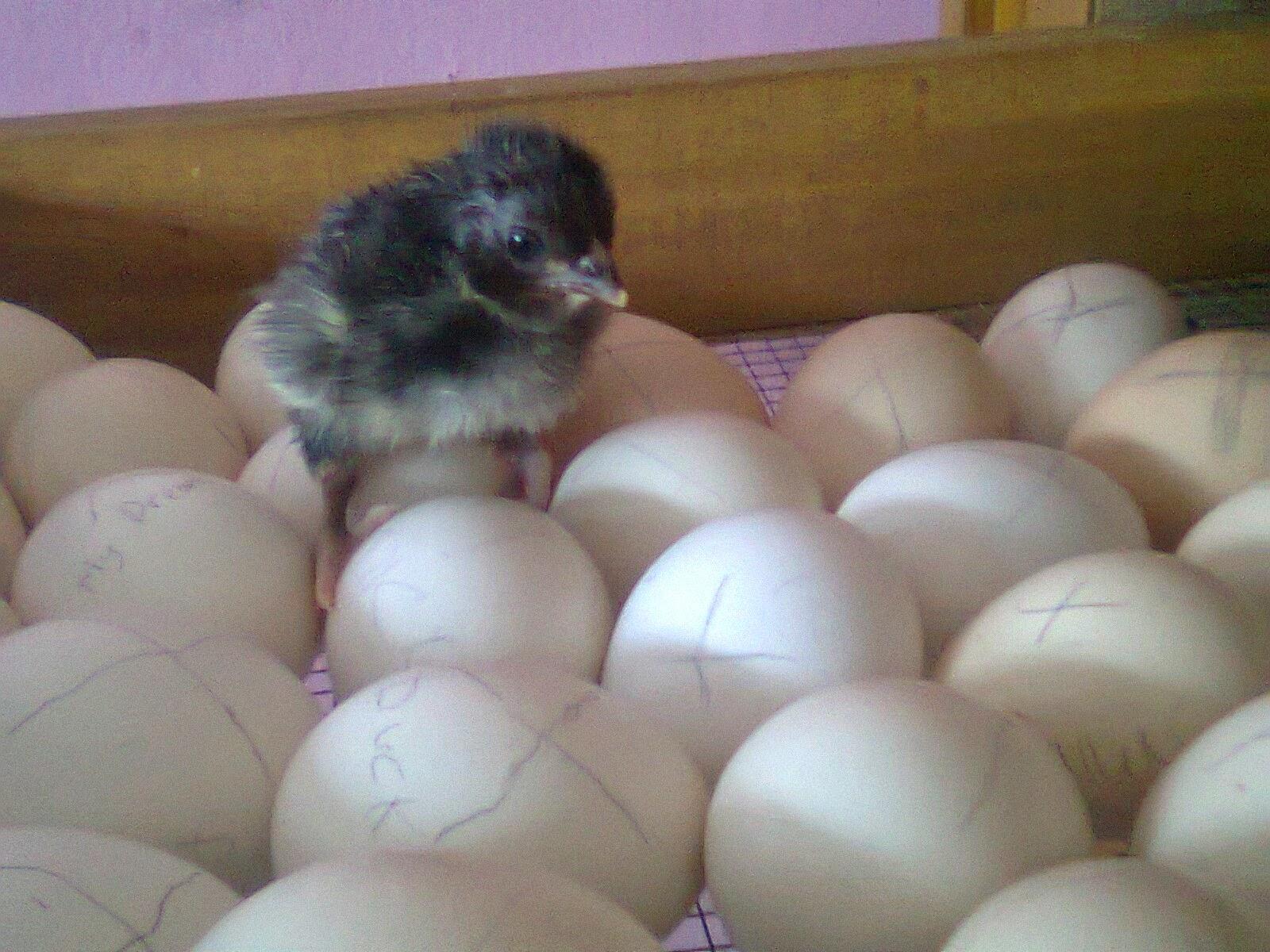 Cara Memulai Bisnis Penetasan Telur