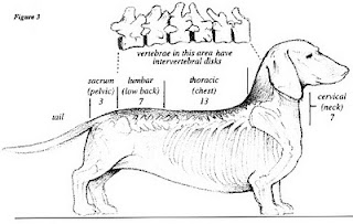 vértebras caninas