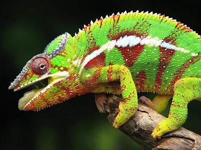 Camaleon de colores a orillas del bosque