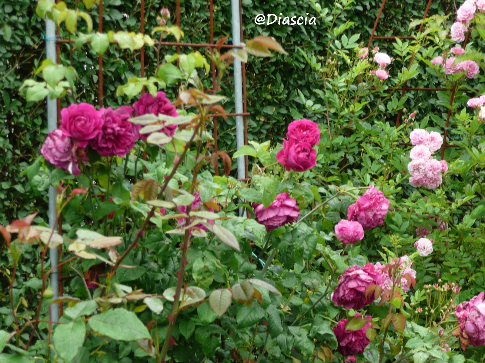 Le jardin de diascia structures en fer a beton for Comment arroser un rosier en pot