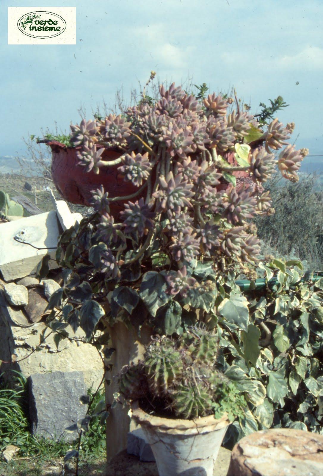 Sansevieria sedum portulacaria le piante di mia nonna for Solo piante