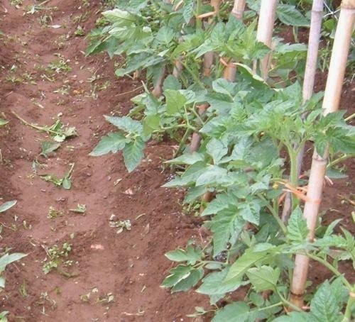 Shinygarden pomodoro 39 datterino alto 39 consigli e curiosit for Cimatura pomodori