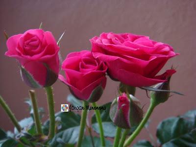 Red Roses : Mawar Merahku