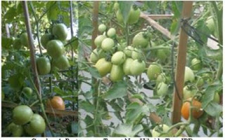 Tomat Tora, Varietas Baru Karya IPB