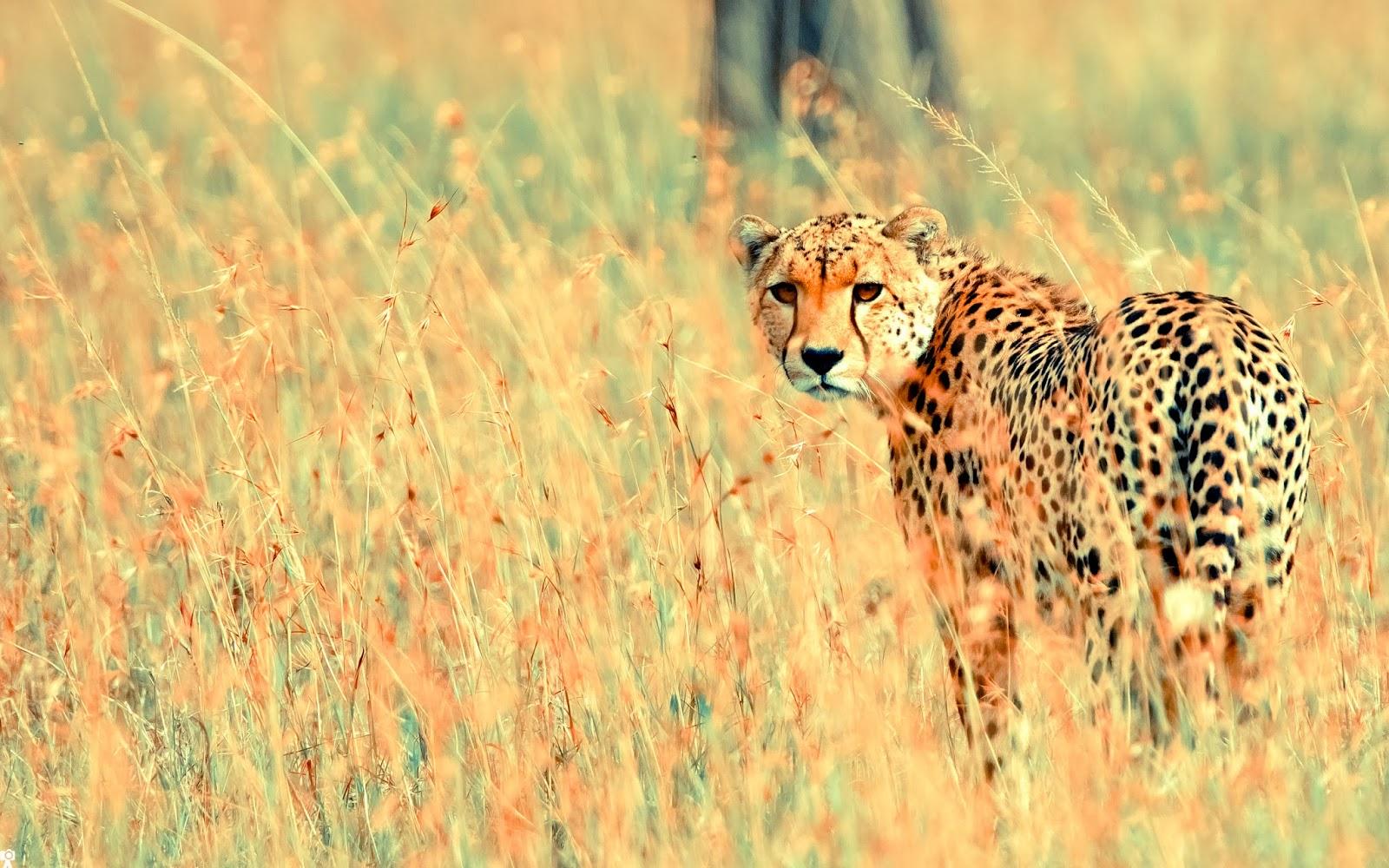 "<img src=""http://4.bp.blogspot.com/-Z8v18TcDvtM/UtgFk25kXEI/AAAAAAAAIRs/Vv4FLaUUj9g/s1600/animal-wallpapers-beautiful-cheetah.jpg"" alt=""Animal wallpapers"" />"