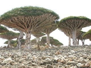 Pohon Darah Naga