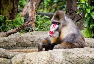 singapore zoo, kebung binatang singapura, Singapore Zoological Gardens, Mandai Zoo, wisata di singapore