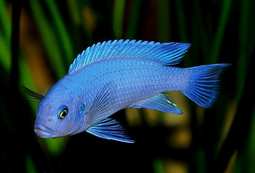 Cichlid animal wildlife for Types of small fish