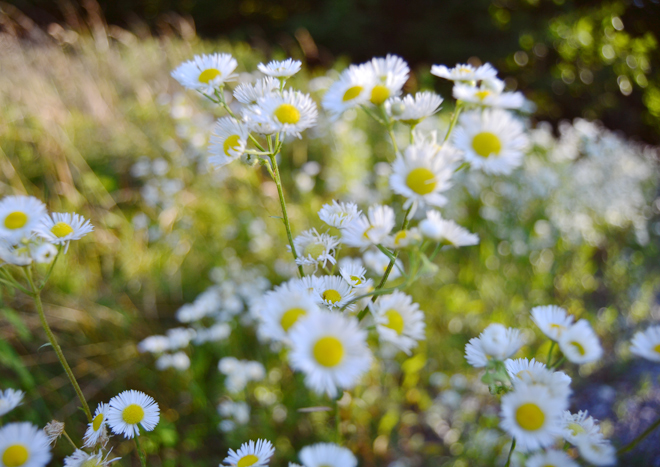 Daisy Fleabane in July