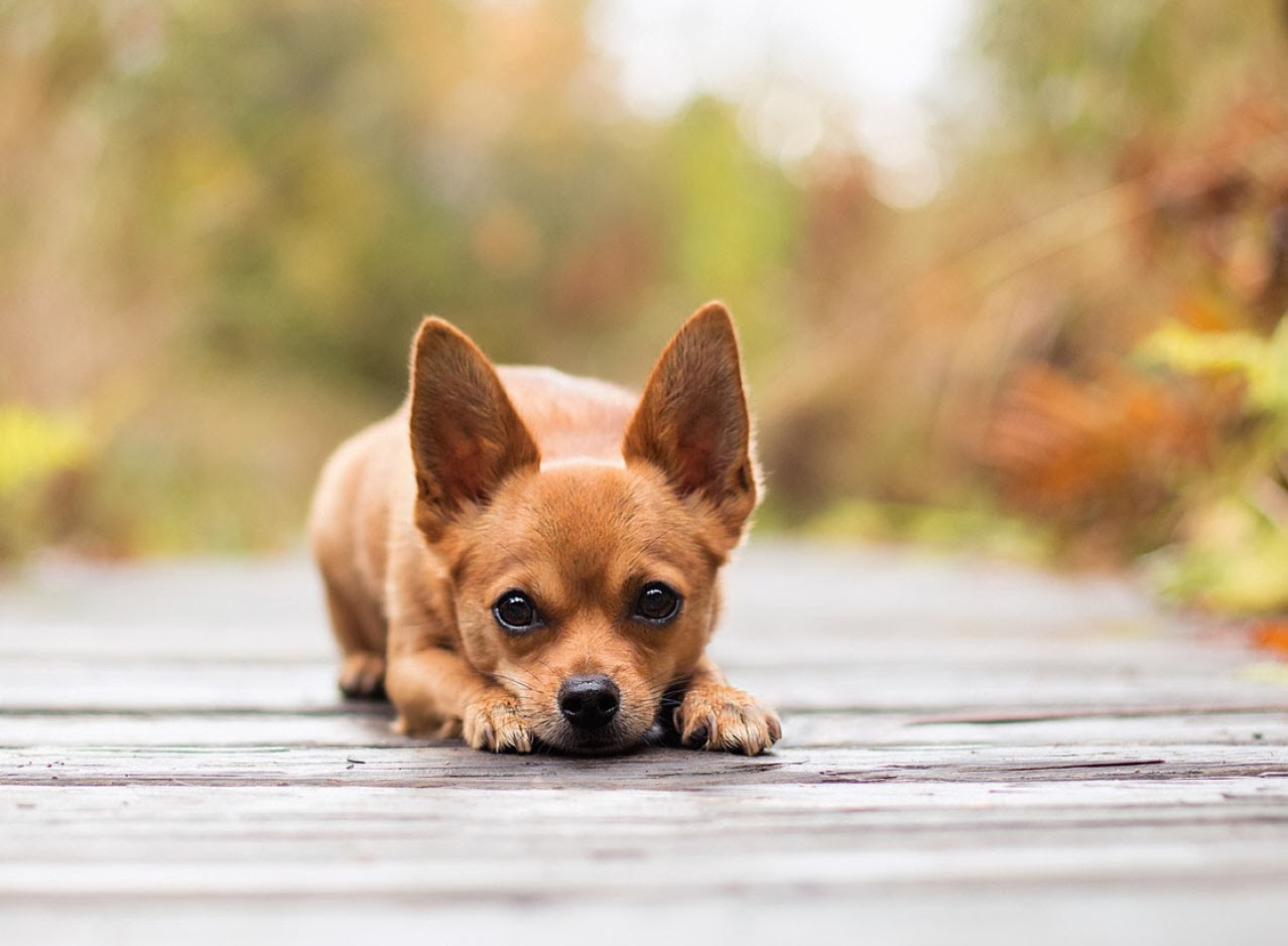 Different breeds of dogs apple head chihuahua different for Different types of puppies breeds