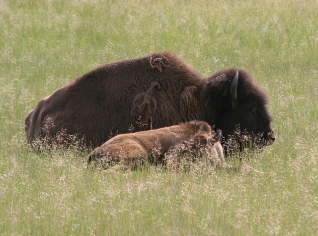 Bisontes (Canadá)