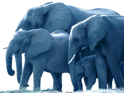 Free Elephant wallpaper for desktop