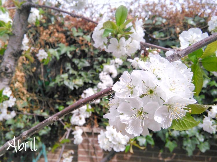 cerezo en flor