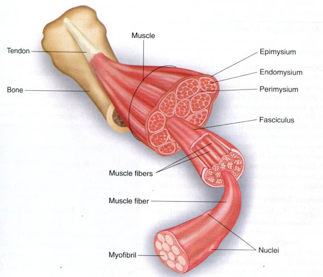 the human muscular system - thinglink, Muscles