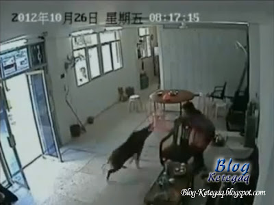 Video babi hutan