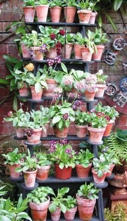 Auricula theatre on step ladders