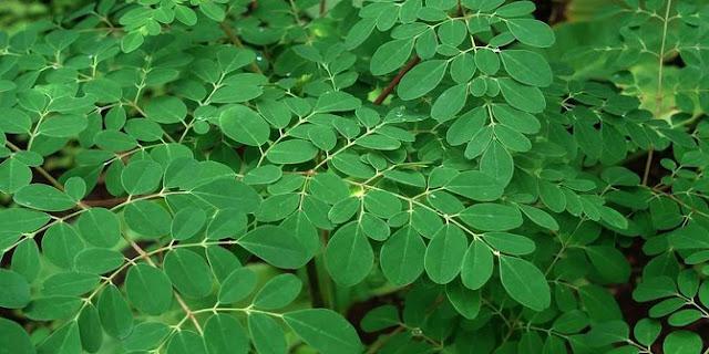 Kandungan daun Kelor dan manfaatnya bagi kesehatan