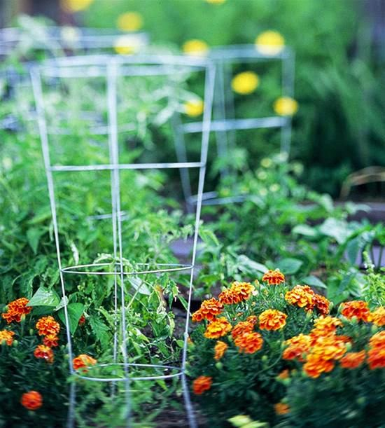grow tomatoes in the cage | Manufacturers Outdoor Furniture