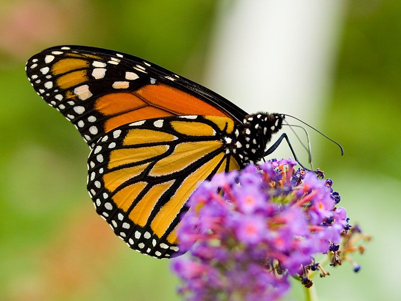 Il teorema di dionea farfalle in giardino for Foto farfalle colorate