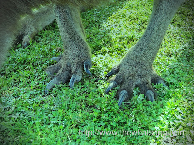 Claws of a Kangaroo