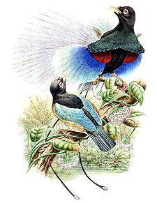 Cenderawasih biru, Paradisaea rudolphi