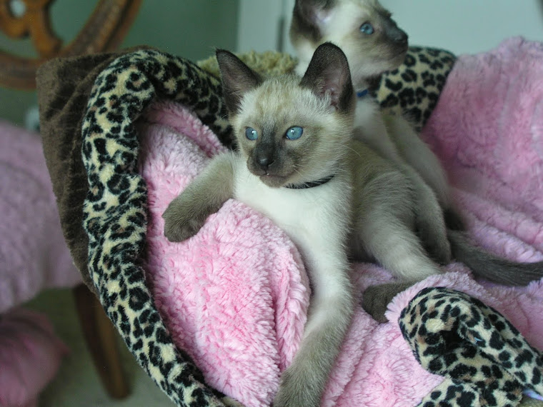 seven week old seal point Siamese(spoken for)