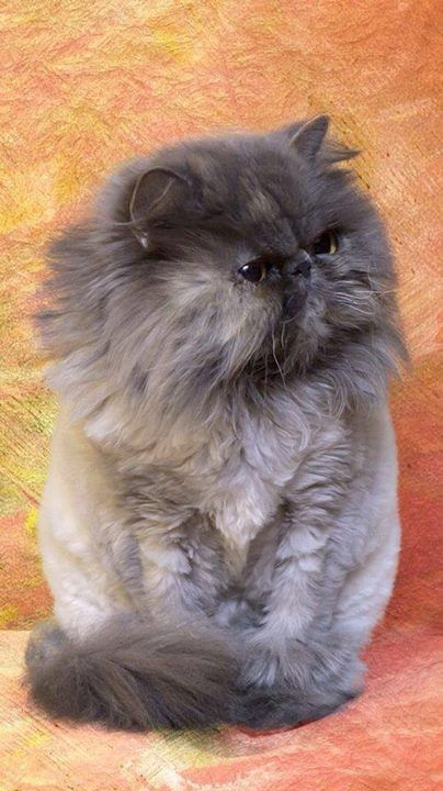 Top 5 Cat Breeds With Longest Hairs