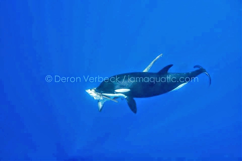 Image result for orca thresher shark