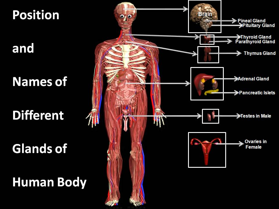 Pictures of organs in human body