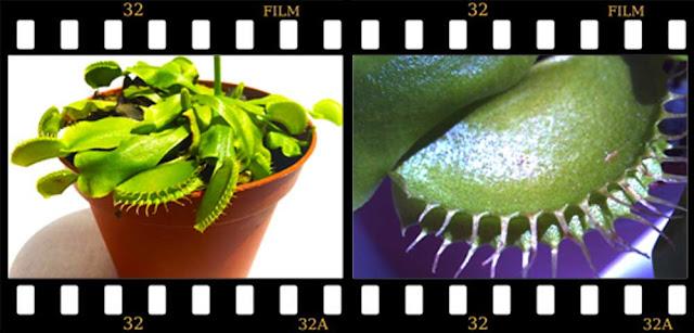 planta_venus_flytrap_atrapamoscas_carnivora