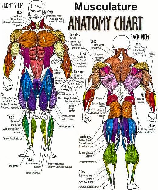 human muscle density – citybeauty, Muscles