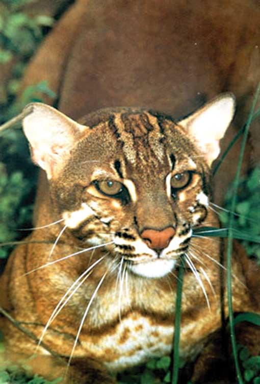 Tingkah Laku Dan Reproduksi Kucing Emas Asia