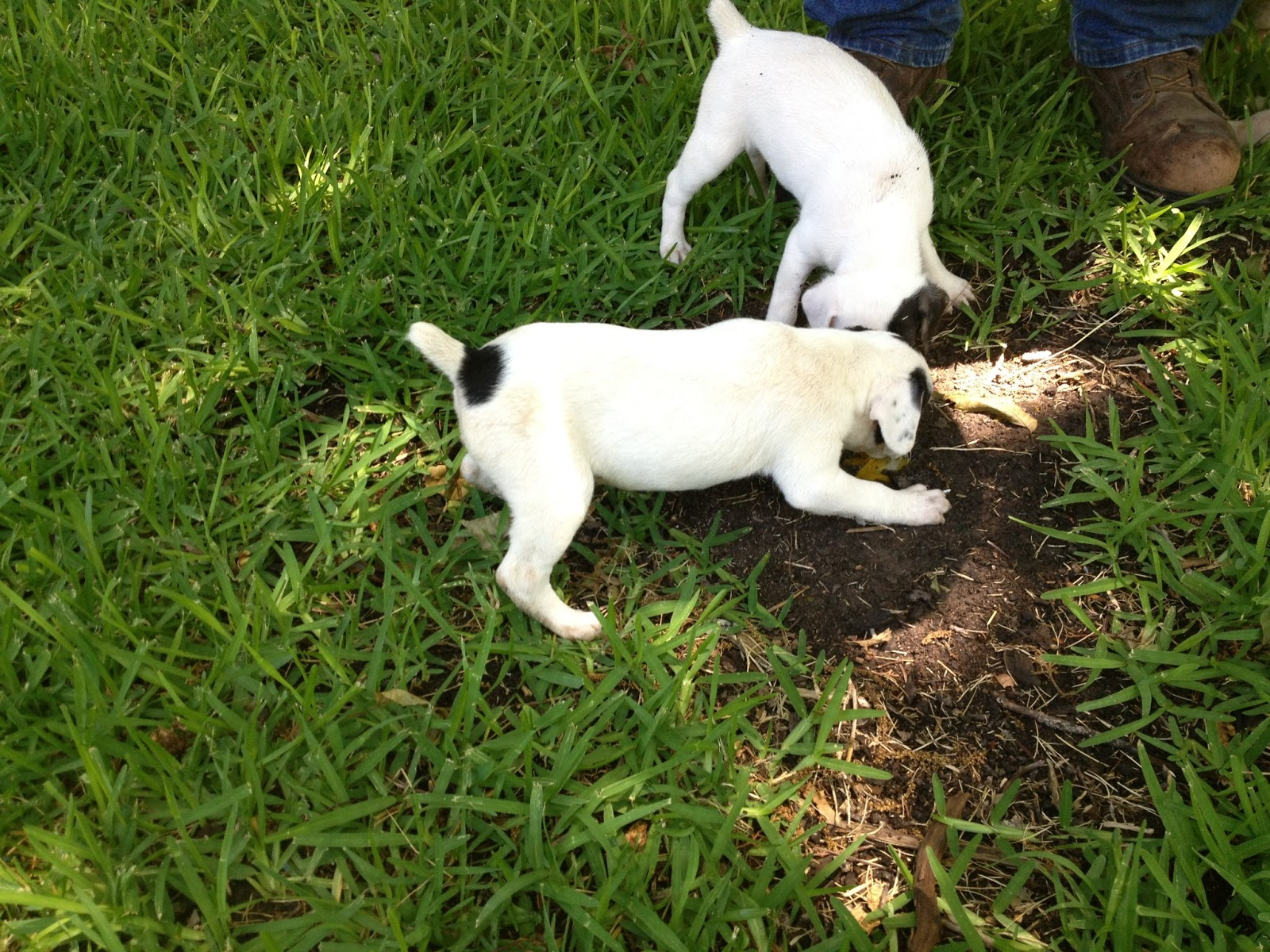 Galla Feist--Squirrel Dog Hunting Photo Gallery: Puppies ...