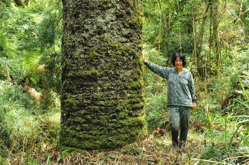 Yurakuna - Crónicas de un mundo en mutación: Araucaria ...