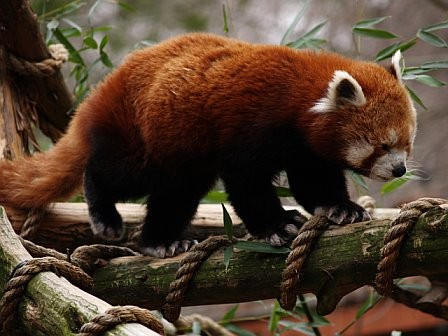 external image red_panda_4.jpg