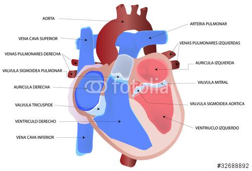 Taller Biología 4.7: Disección de corazón de cerdo (análisis previo)
