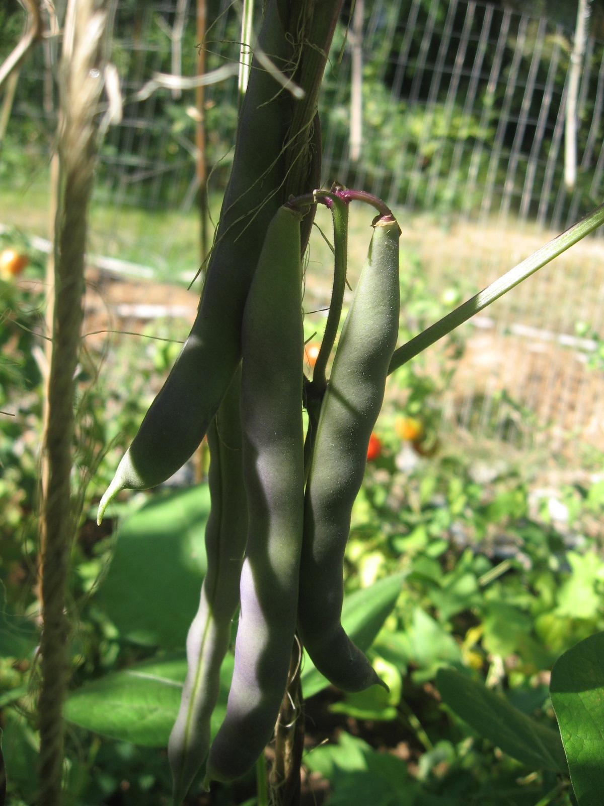 Marconi Black Seeded Bush Bean Seeds GREAT! Romano wonderful full bean flavor