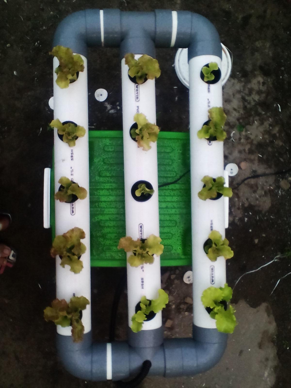 Cara menanam sayuran hidroponik dengan paralon ~ cara