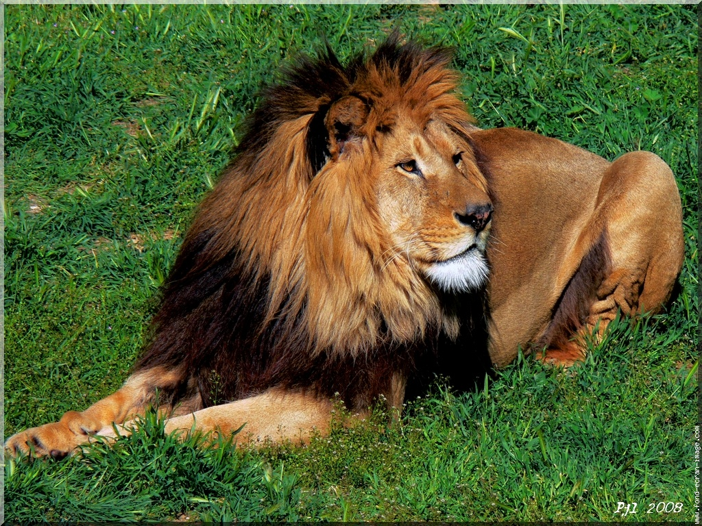 The Beuty Of The Lion