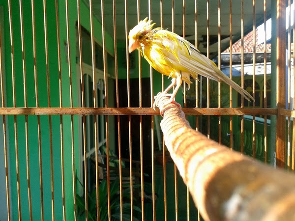 budidaya burung mencegah kerusakan bulu burung