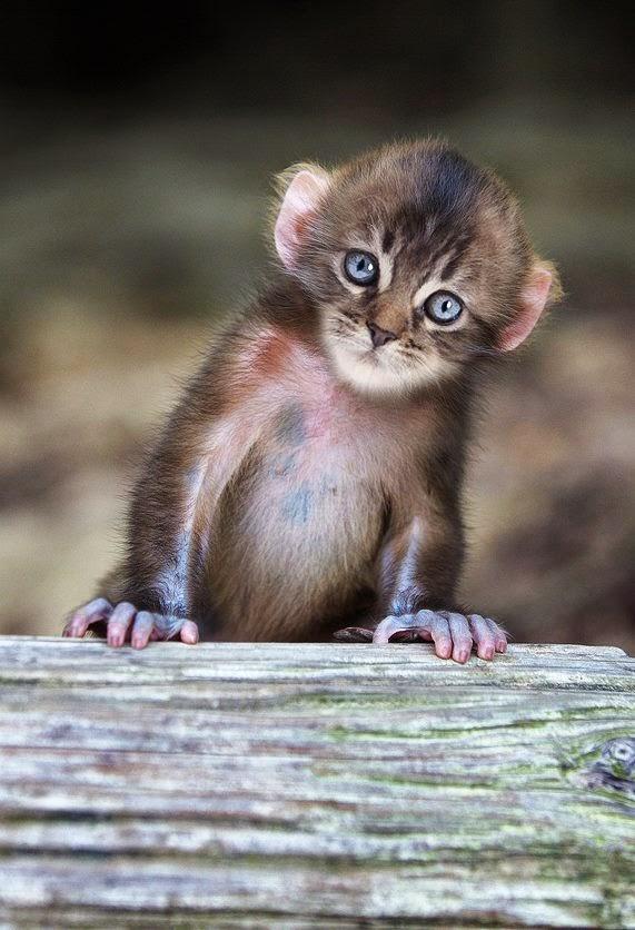 http://www.liataja.com/2014/12/mittens-hewan-hybrid-kombinasi-kucing-dan-monyet.html