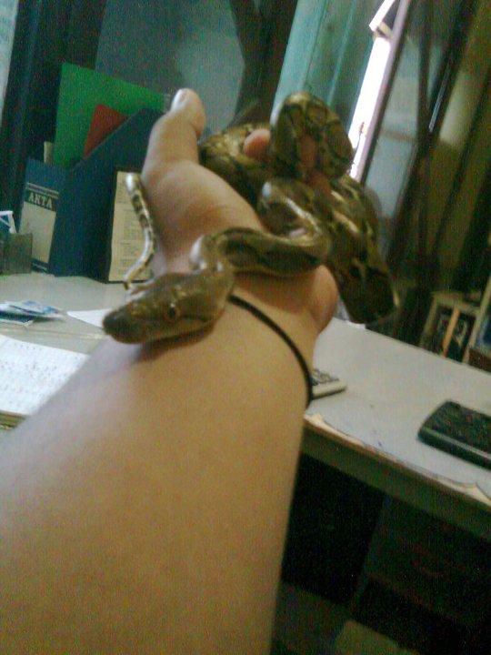 ular tidak berbisa: Ular Sanca kembang