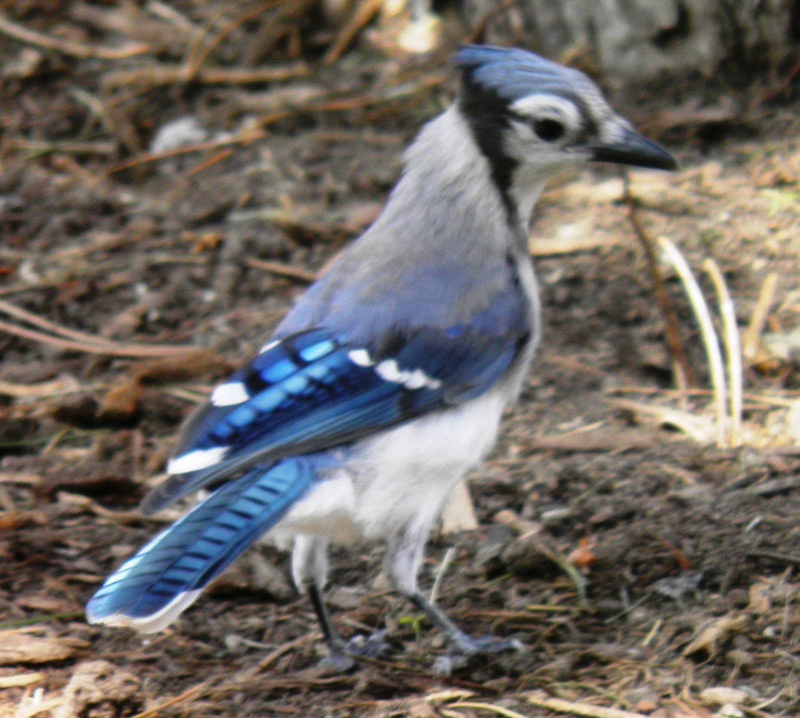 Baby Blue Jay Bird Food