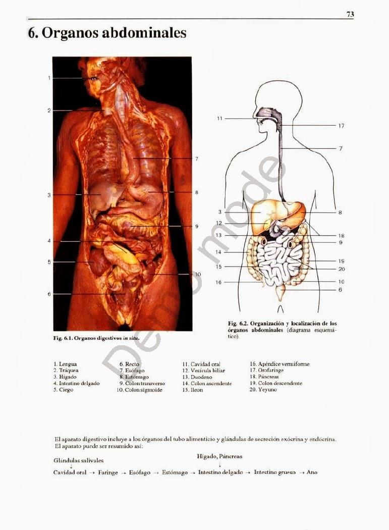Moderno Diagrama De Marcado De Los órganos Del Cuerpo Humano Bandera ...