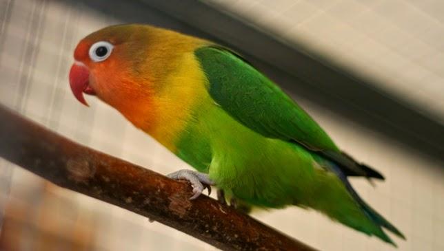 lovebird-cantik