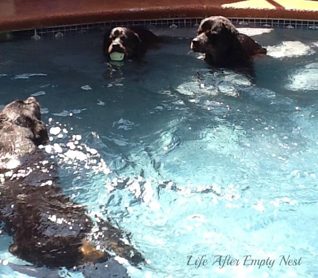 Rotties in Pool