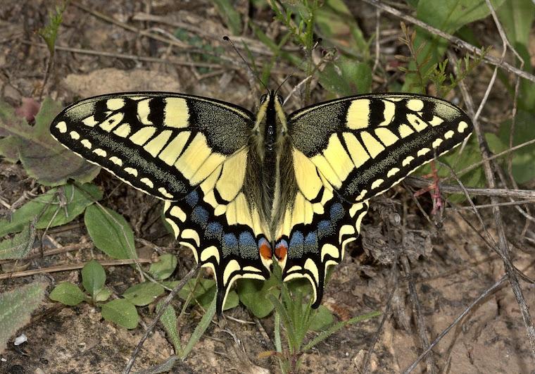 preciosa mariposa en LA MURADA (JPBasanta)